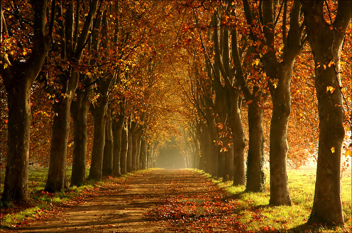 Allée de platane embrumée dans le rouge intense d'une fin d'automne.